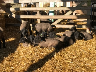 suffolk lambs